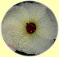 Hibiscus 'Dion's Delight'