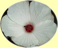 Hibiscus �Tasty White�